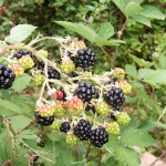 Blackberry_fruits10[1]