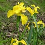 800px-Iris_pseudacorus_flowers_Russia
