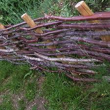 Plessage de branches de noisetier récupérées après la taille de la haie.