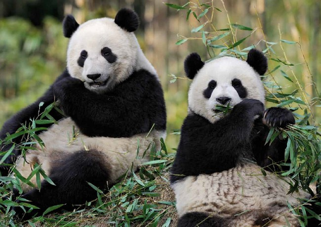 panda-zoo-beauval[1]